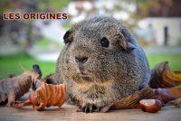 L'origine des cochons d'Inde.