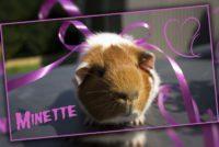 Minette cochon d'Inde Poils Lisses.