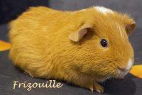 Frizouille cochon d'Inde Us Teddy.