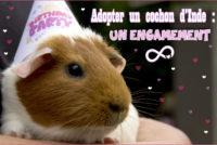 Adopter un cochon d'Inde : un engagement.