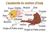 L'anatomie du cochon d'Inde.