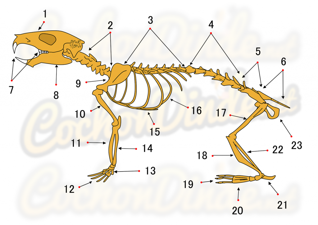 Le squelette du cochon d'inde