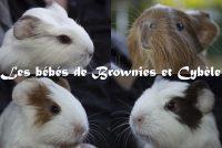 Les bébés de Brownies et Cybèle.