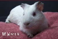 Winter cochon d'Inde shelty himalayen.