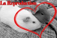 La reproduction du cochon d'Inde.