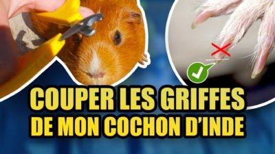 Vidéo Couper les ongles de mon cochon d'Inde