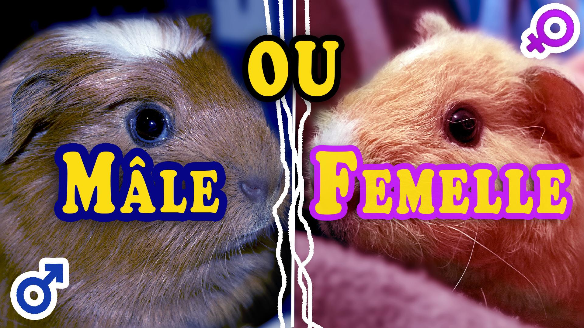 Cochon d'Inde mâle ou femelle ?