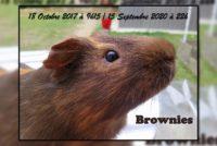 Brownies cochon d'Inde Poils Lisses.