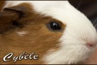 Cybèle cochon d'Inde Couronné Américain.